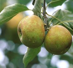 Roxbury Russet apple is believed to be the oldest variety of apple in the United States having first discovered and named in mid-17th century. It is a greyish-green russet apple known for making cider and juice.