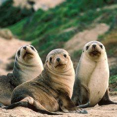 Baby sea lions?