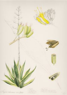 Agave Salmiana. Watercolor painting by Marly Beyer, scientific illustrator.