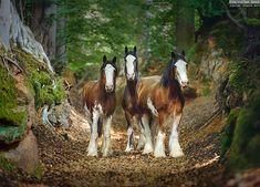 DRAFT HORSES OF HORSELAND STUDFARM Equine pfotography by Ekaterina Druz