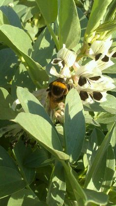 Respetemos a las abejas ya que son nuestras aliadas. Sin abejas, no hay polinizacion, ni hierba, ni animales. Hemos encontrado en los huerto este abejorro polinizando la flor de las habas!!!!! Valencia, Plant Leaves, Plants, Flower, Veggie Gardens, Bees, Animales, Planters, Plant
