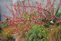 "Beschorneria albiflora - Amazing evergreen focal point plant alert! Crazy RARE, Beschorneria albiflora is the only species that forms an aboveground trunk that can reach 30"" high!"
