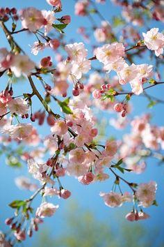 Kirschblüten beschwören die Schönheit des Augenblicks. Wie diese vergängliche Blütenwelt im Zeitpunkt ihres höchsten Aufblühens.