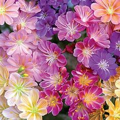 Rainbow Lewisia Mix. Little evergreen plant with star shaped blooms. Perfect for full sun borders. 3 for $12.99.
