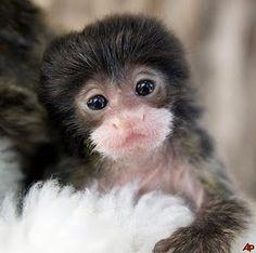 Baby Emperor Tamarin. Squee!