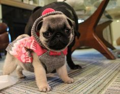 Super adorable pug puppy