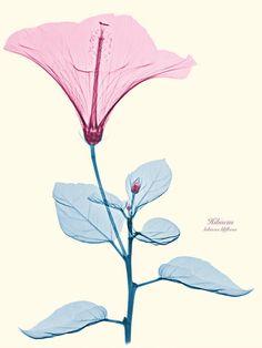Blumen-Röntgenaufnahmen von Brendan Fitzpatrick