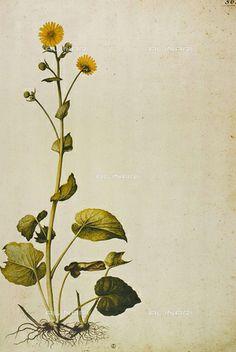 Jacopo Ligozzi | Alinari ShopDoronicum Pardalianches (Doronico), incisione a…