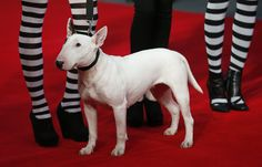 "Roxy the Dog attends the European premiere of ""Frankenweenie""."