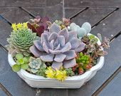 Succulent arrangement in white bonsai container/bowl-Small