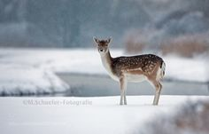 Let it snow let it snow - Pinned by Mak Khalaf Still no winter in Holland. Then one picture from days when there was snow. Animals animalanimalsbeautifulblackdeerfallow deerscenerysnowsnow fallsnowywaterwhitewildwildlifewinterwinter time by mschaeferfotografie