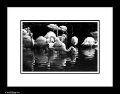 Flamingos relaxing in Dublin Zoo. Black and white photographic print.  Limited edition signed and mounted photographic print.   Each print is hand numbered in an edition of only five copies in total.   I mount all the prints myself for that very special personal touch, nothing is mass produced here.   Your photograph comes mounted in white card and also features a card backing board for extra strength. This basically means the print is ready to fit straight into a ...
