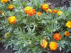 Védőnövények a veteményesben   csalan.hu Plants, Outdoor, Gardening, Garden Ideas, Decor, Outdoors, Decoration, Lawn And Garden, Plant