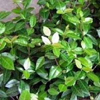 Asian Jasmine is one of the most widely used evergreen groundcovers. It does great in sunny areas.