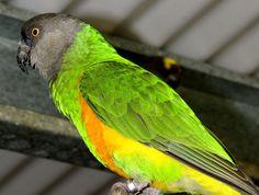 Senegal Parrot from Priam Parrot Breeding Centre