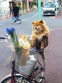 think ginge will ride in my bike basket