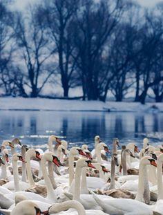 Flock of swans in Ukraine  #PutDownYourPhone #Carde