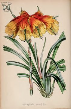Large Christmas Bell. Blandfordia grandiflora. (Paxton's) Magazine of Botany and Register Vol. 7 (1840)