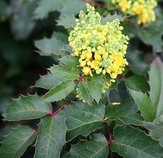Buy oregon grape Mahonia aquifolium Apollo - Yellow flower against dark foliage: pot: Delivery by Crocus California Native Garden, Oregon Grape, Planting Plan, How To Attract Birds, Natural Garden, Garden Planning, Apollo, Yellow Flowers, Nature