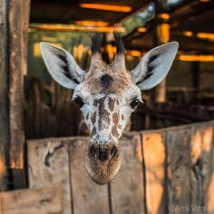 Photo by @amivitale. Meet Twigs, the adorable, orphaned 2 month old reticulated #Giraffe currently living at @Sararacamp in Northern #Kenya. Twigs was found upside down and stuck in an erosion gully and immediately rescued by the local community. She is being taken care of now until she eventually finds a wild herd to join.