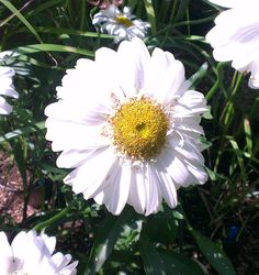 Leucanthemum × superbum 'T.E. Killin' - ( Shasta daisy ) AGM Family Asteraceae Garden origin  A vigorous perennial with double, pure white flower that resemble jumbo-sized daisies. These are held on sturdy stems and don't require staking in the garden.