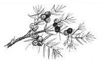 Juniper- the most amazing plant