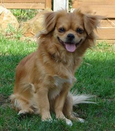 A maltese pomeranian mix.... If they don't shed I want one