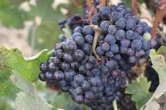 Famous tempranillo grape. La Rioja