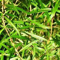 Hydrolat z Drzewa Herbacianego Zrób Sobie Krem 13 zł-200 g