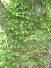 Parthenocissus quinquefolia - Plant Finder