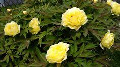 My yellow Peony bush, so pretty.