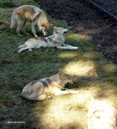Gray Wolves:  Facts & Photos