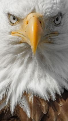 Bald Eagle head close up - keeping a safe and ethical distance from my subject. Eagle Images, Eagle Pictures, Nature Pictures, Eagle Wallpaper, Animal Wallpaper, Beautiful Birds, Animals Beautiful, Aigle Animal, Eagle Art