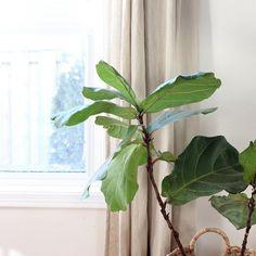 Fiddle Leaf Fig Fiddle Leaf Fig, Instagram Feed, House Design, Photo And Video, Videos, Architecture Design, House Plans, Home Design, Design Homes