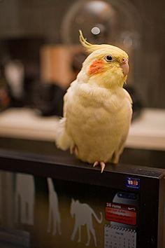 #Cockatiel taming    Like and Repin! #birds #animals #cockatiel
