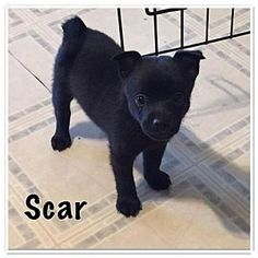 Schipperke/Pomeranian Mix Puppy for adoption in Willingboro, New Jersey - Scar