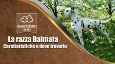 Arriva un cucciolo di Dalmata, ecco cosa aspettarti DAVVERO