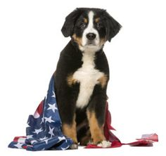 keep your pet save on the 4th of July. http://www.vet-organics.com/pet-safe-celebrating-on-the-4th-of-july/