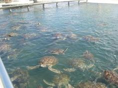 You can swim with them if you want.  Very cool!     Grand Cayman - Turtle Farm