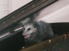 A Virginia opossum inhabiting a piano in Houston, Texas, shortly before its release  Jkatsis2