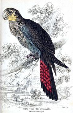 Glossy Black-Cockatoo AKA stellated geringore (Calyptorhynchus lathami, synonym: Calyptorhynchus stellatus).  Edward Lear, from Natural history of parrots, by Prideaux John Selby, Edinburgh, 1836.