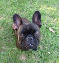 """""""Whassup?"""", Alby, the French Bulldog"""