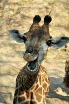 Rindo das suas atitudes infantis - Laughing at their childish attitudes (young giraffe)