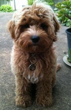 cavoodle dogs full grown - Google Search