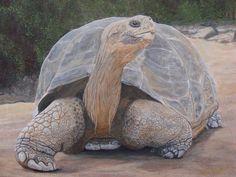 Giant land  tortoise