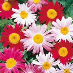 "Painted Daisy Pink-Red Midsummer Mix  Every bit as easy to grow as meadow daisies—and much more colorful! Produces big, cheery flowers, 3 ft. tall. Prefers full sun. Bareroot. Zones: 3 - 7 (-30° F.). Height: 24"" - 36"". Shade Requirement: Full sun to partial shade. http://www.gurneys.com/product/painted_daisy#sthash.pCdHdCtq.dpuf"