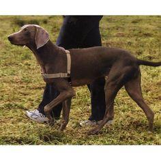 Filson Dog Harness Goldenacresdogs