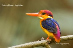 Oriental Dwarf Kingfisher - what extraordinary color