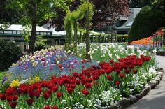 Tulips along the Top Walk.  #spring  #butchartgardens #explorevictoria #explorecanada #explorebc