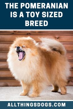 Pomeranians are a very intelligent breed, however, they have a tendency to believe they are bigger than they really are! The average Pomeranian size is between 7 to 12 inches in height and weighing a mere 3 to 7 pounds. Read our guide for more details. Teacup Dog Breeds, Miniature Dog Breeds, Pomeranian Colors, Pomeranians, Central Europe, Pets, Pomeranian
